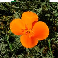 amapola-california-insomnio